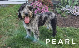 breezy hollow puppies pearl